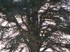 cedar tree-1